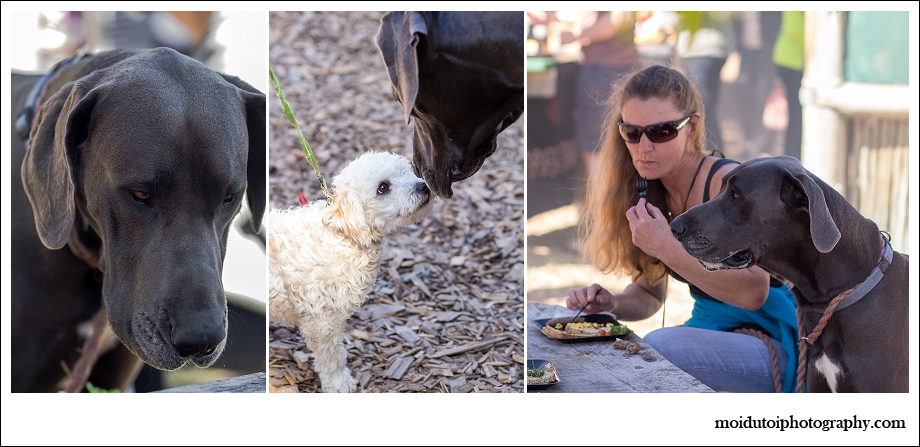 Maltese Poodles and great Dane