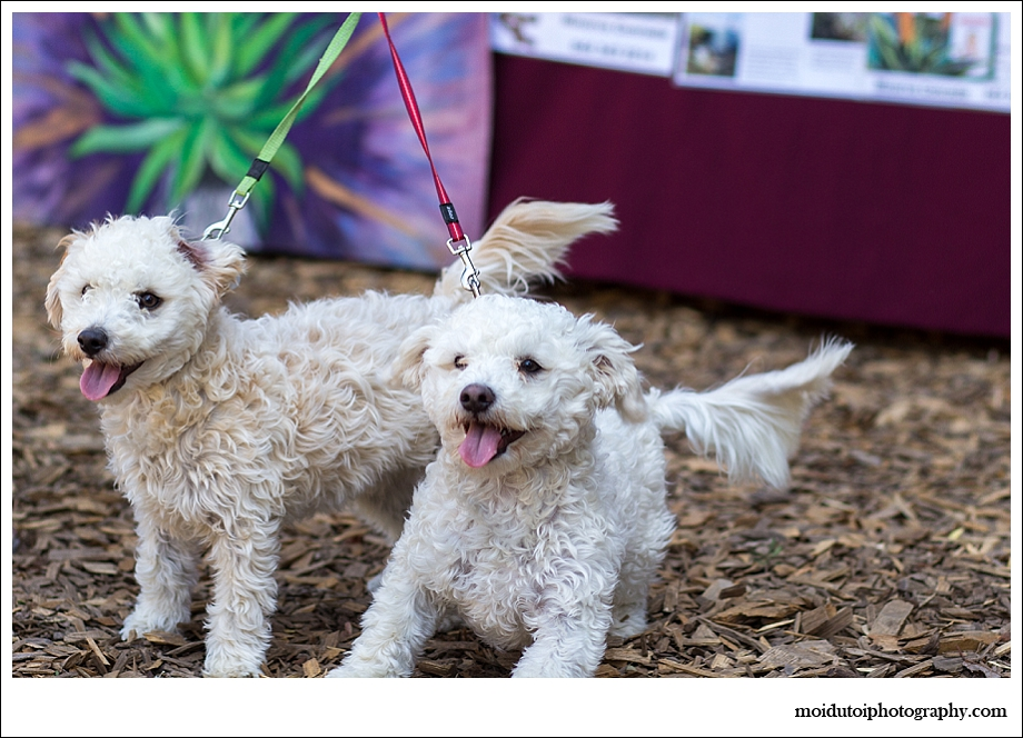 Maltese poodles, Scarab market, Wild Oats Market
