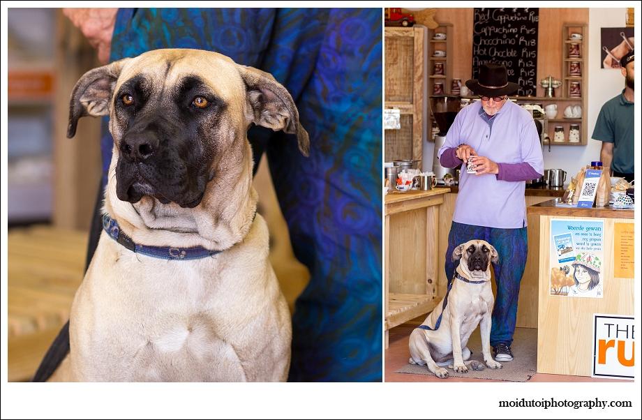 Boerboel, spca rescue dog