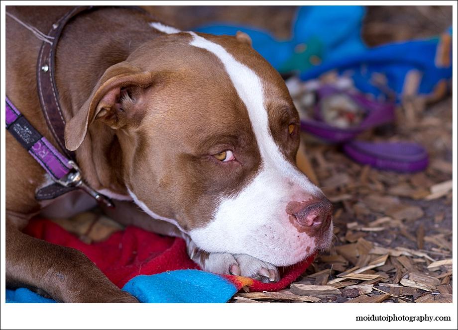 Pitbull, dog portrait, pet photography south africa