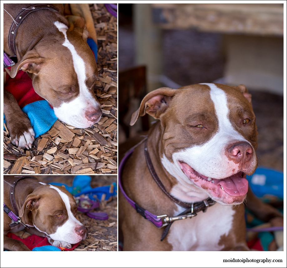 Rocco the pit bull, laughing pit bull, smiling pit bull