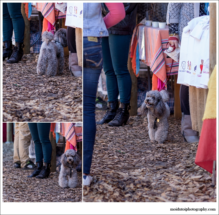 Poodle shopping at scarab market, pet photographer south africa