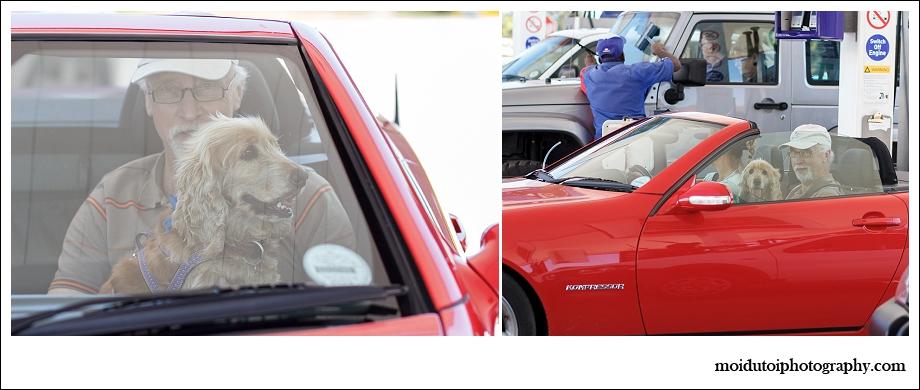 Spaniel in sports car