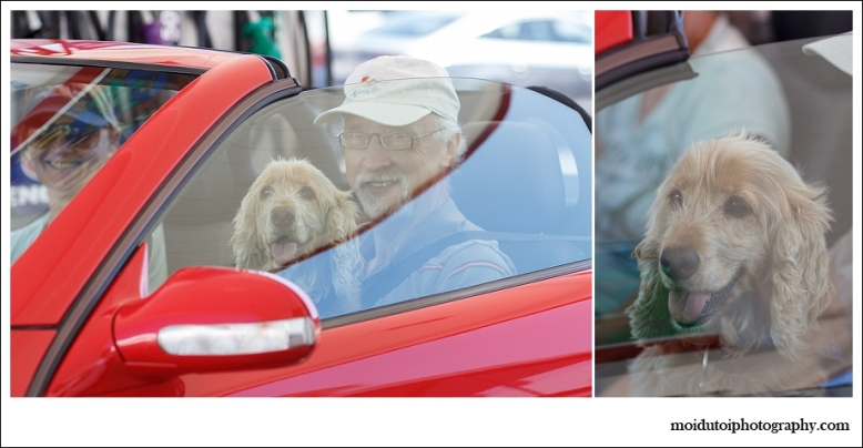 Spaniel in sports car, scarab market dogs