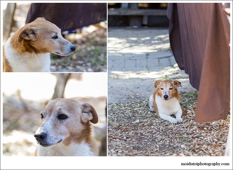 Jack Russell, pet photography south africa