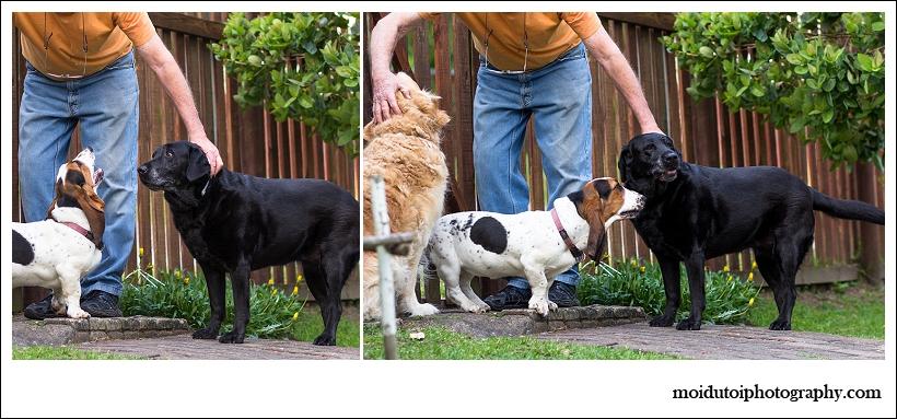 Basset Hound dog photography, natural light