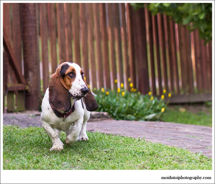 Basset Hound dog photography, natural light