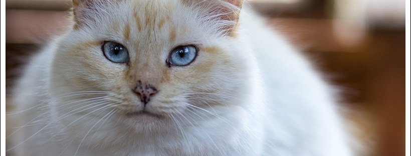 blue eyed cat, fluffy white cat, pet photography, timberlake village, norma jeane
