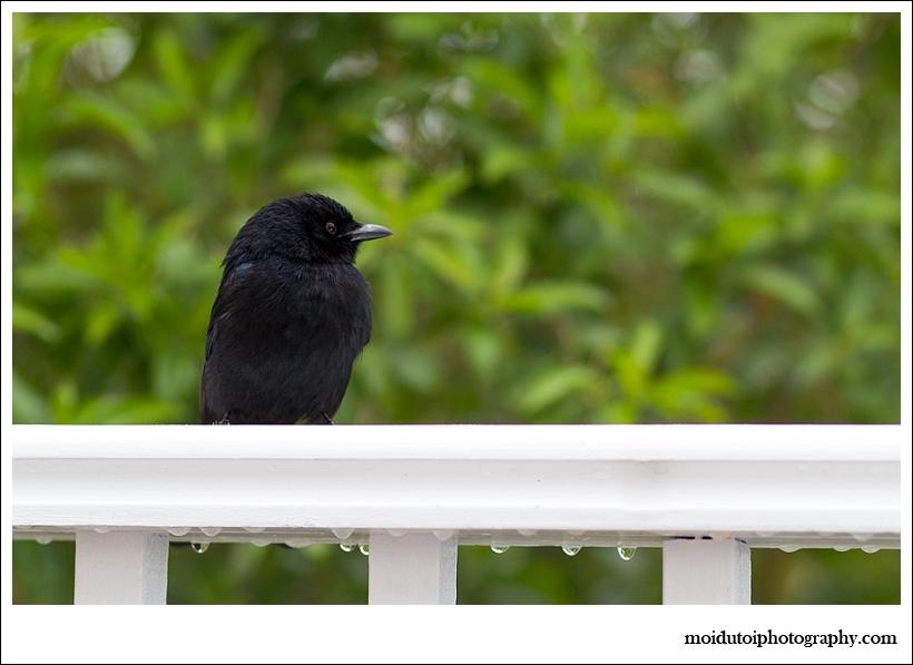 Drongo, wildbird, natural light photography, bird photography