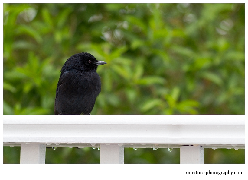 Drongo, wildbird, natural light photography, bird photography
