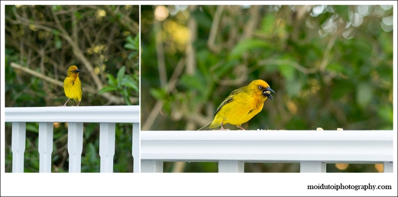 Cape Weaver male, bird photography, wildbird, south africa