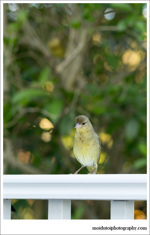 Cape Weaver, bird photography, wildbird, south africa
