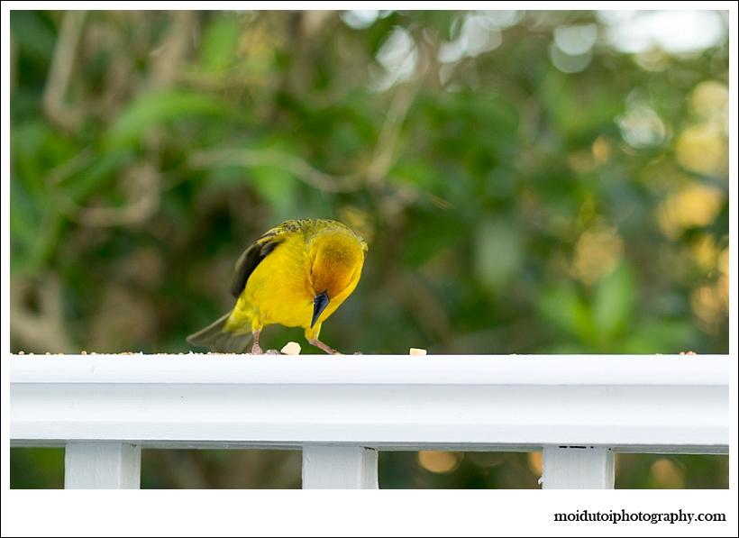 Cape Weaver, bird photography, wildbird, south africa