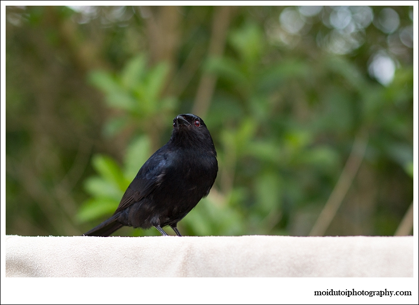 Fork tailed drongo, bird photography, wildbird, south africa