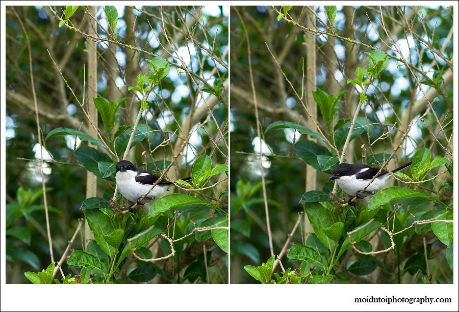 Fiscal Shrike, bird photography, wildbird, south africa