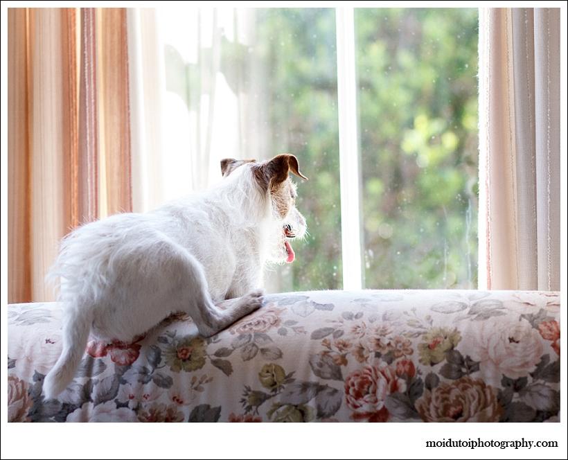 Jack Russell, Bobby, Natural light dog, pet photography south africa, dog photographer south africa