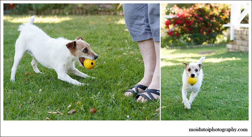 Jack Russell, Bobby, Natural light dog, pet photography south africa, dog photographer south africa