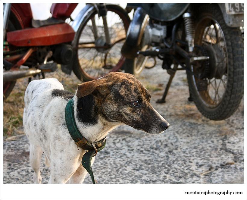 Underfed Mauritian dog