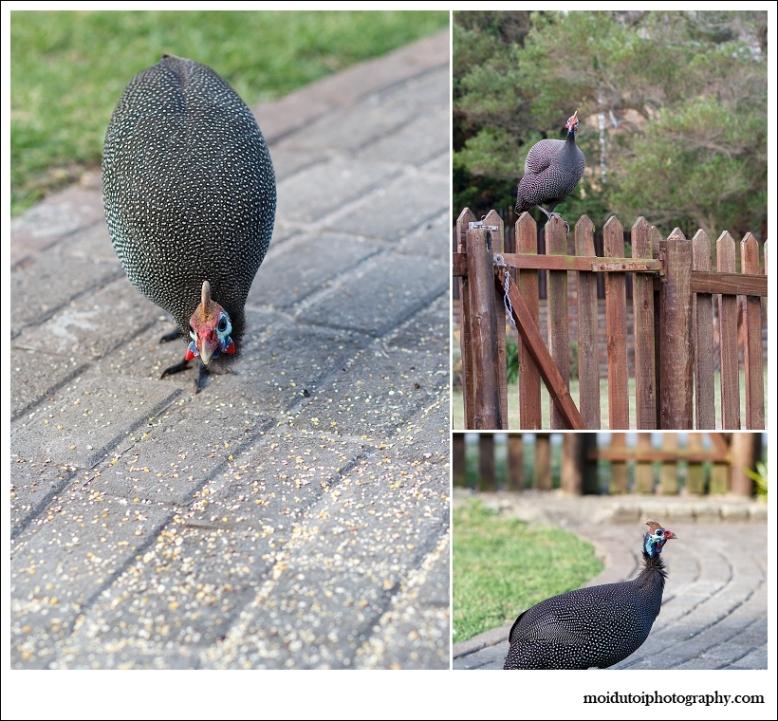 wildlife, african birds, Helmeted guinea fowl, western cape birds, sedgefield guinea fowl