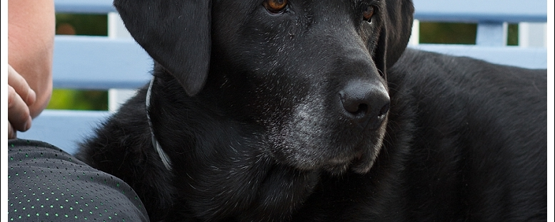 Black Labrador, pet photography, Western Cape Pets