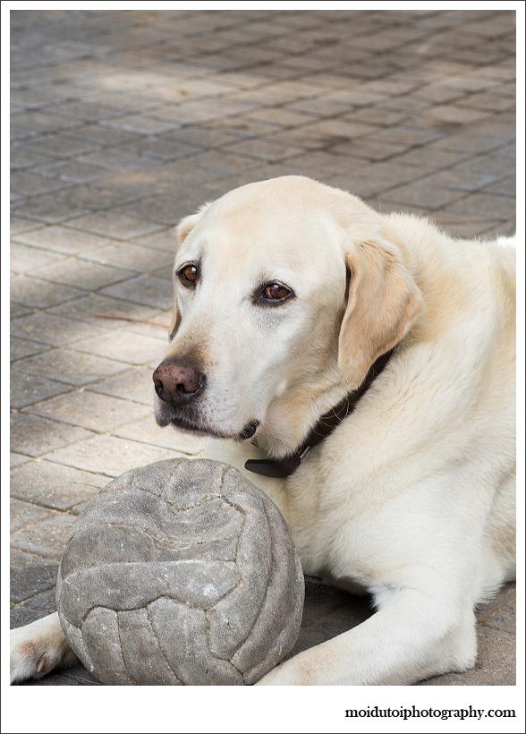 Blonde labrador, pet photography, dog photography