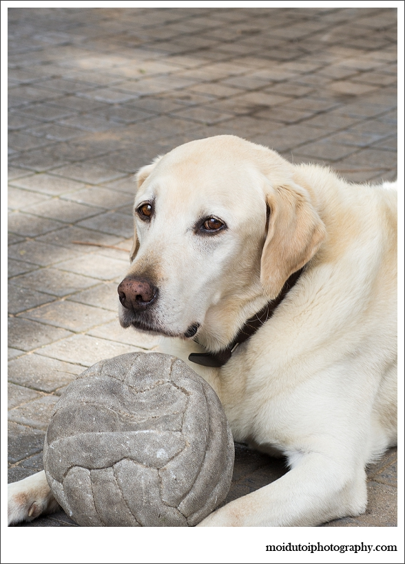 Blonde labrador, pet photography, dog photography