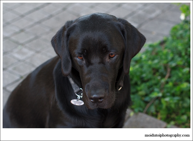 Nala, black labrador, pet photography