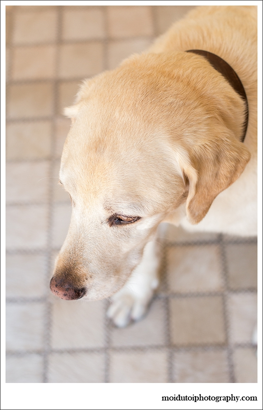 Biscuit, blonde labrador, pet photography