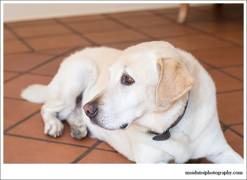 Golden Labrador, pet photography