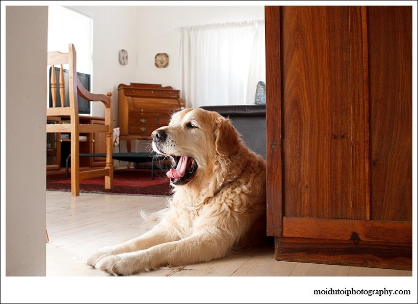 Golden retriever yawning