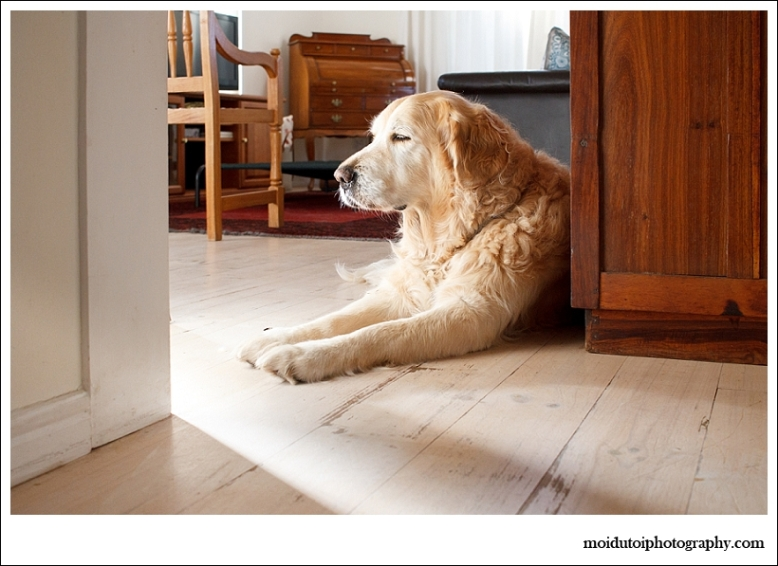 golden retriever sidelight