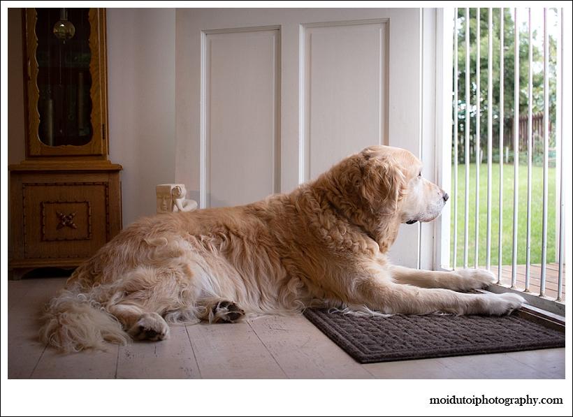 oldengolden retriever lying at front door