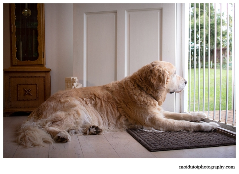 oldengolden retriever lying at front door