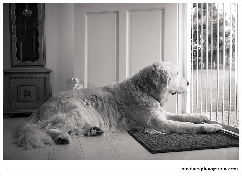 golden retriever lying at front door