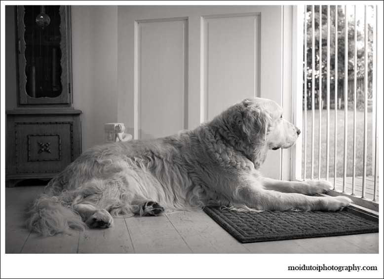 golden retriever lying at front door