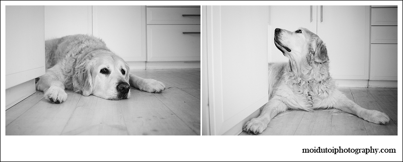 golden retriever pet photography black and white