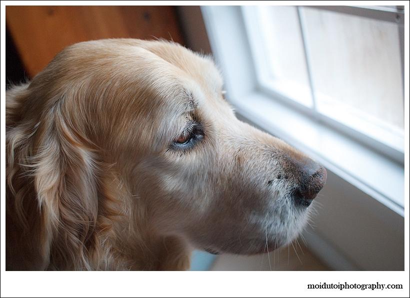 golden retriever window light