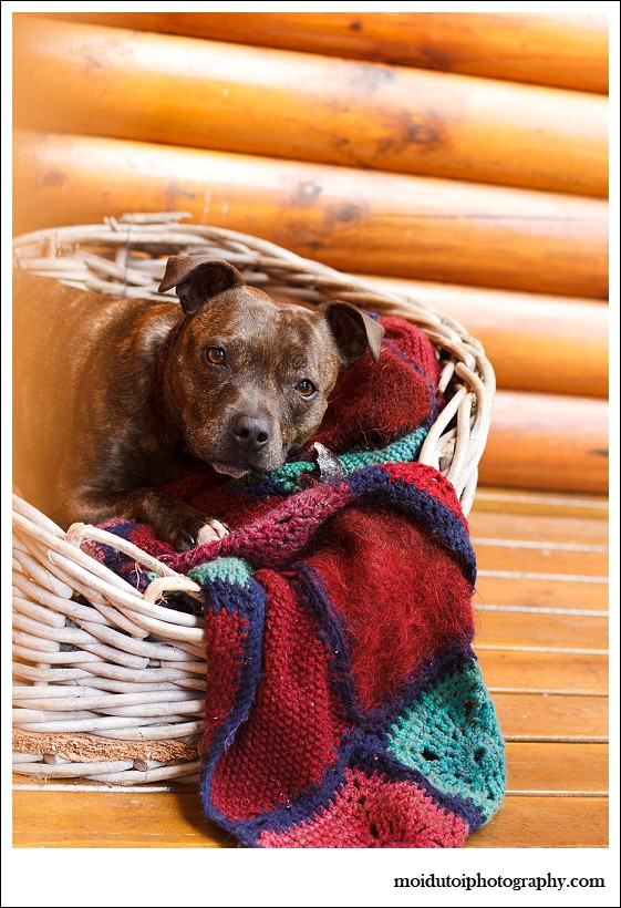 moi du toi photography, dog photographer, staffie, staffordshire bull terrier, pit bull