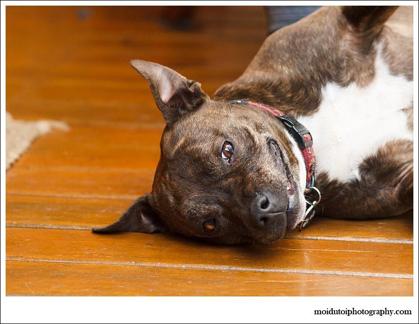 moi du toi photography, dog photographer, staffie, staffordshire bull terrier, pit bull