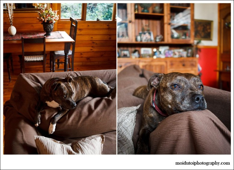 online photography course, moi du toi photography, dog photographer, staffie, staffordshire bull terrier, pit bull