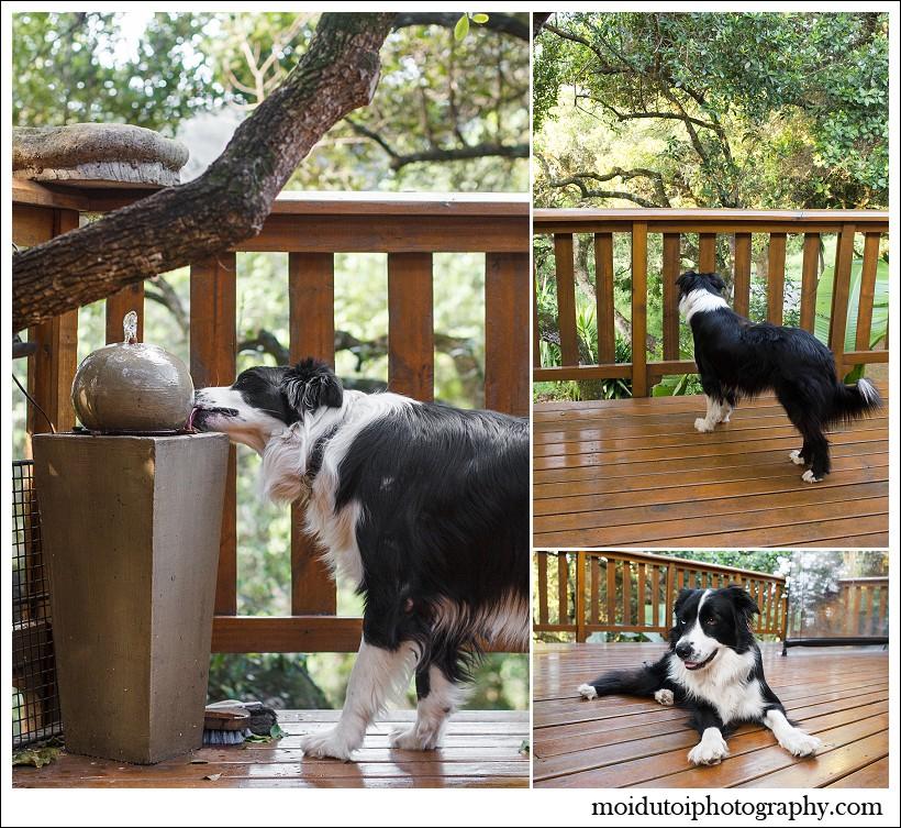 border collies, pet photography, dog photography, south african pet photographer, moi du toi photography