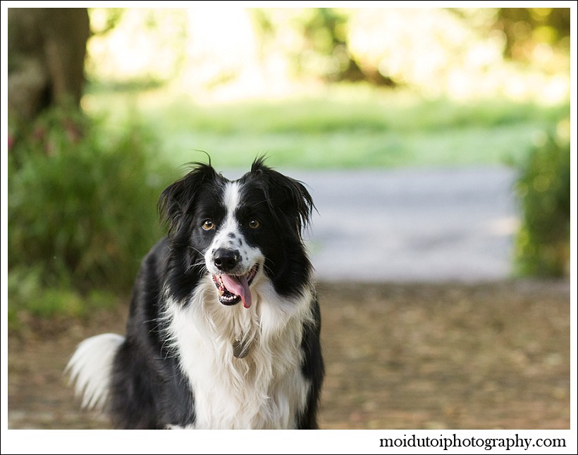 border collies, pet photography, dog photography, south african pet photographer, moi du toi photography