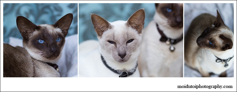 Cat photography, online photography class, Aine, moi du toi photography, easy photography lessons, pet photographer south africa, beautiful siamese cats