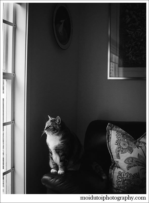 chiaroscuro, portrait, cat
