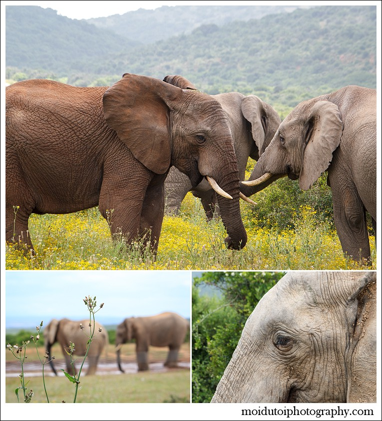 Addo elephant national park, South African wildlife, moi du toi photography