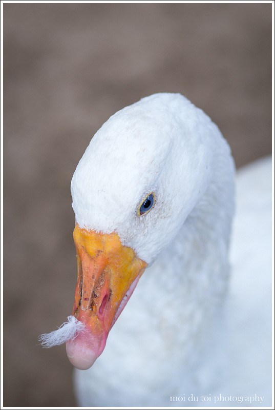 What is depth of field? Shallow depth of field image of a goose