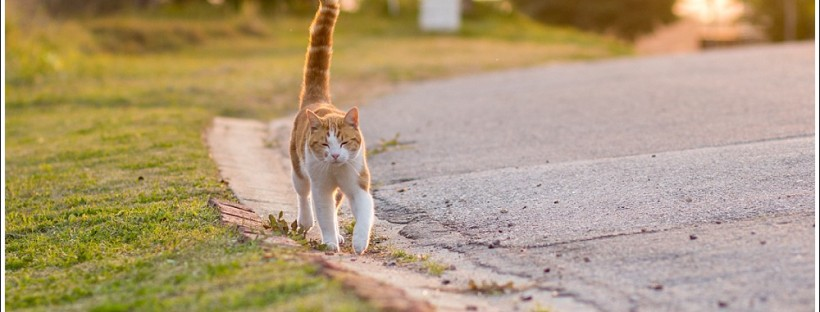 Ginger cat at sunset, for more images like this go to https://moidutoiphotography.com/2016/03/29/macavity-the-mystery-cat-poetry-a-soft-place-to-fall/ | @moidutoi