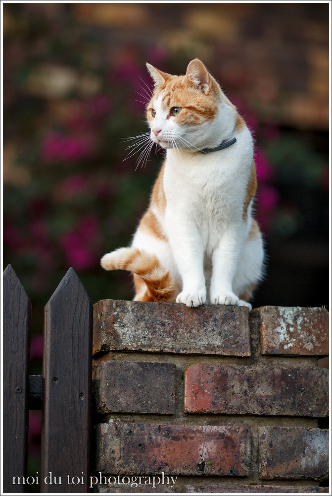 Ginger cat sitting on brickwall