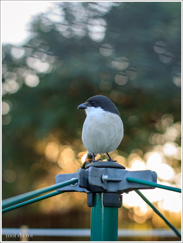 Shrike, moi du toi photography, pet photographer, portraits