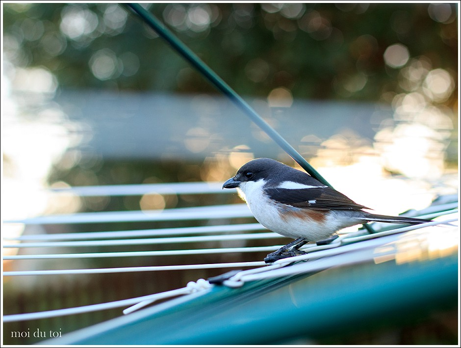 moi du toi photography, shrike, wild birds, pet photographer, Sedgefield